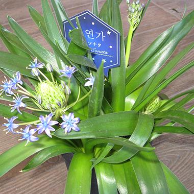 岡谷市 花サン 星のソナタ(シラー・ペルピアナ)
