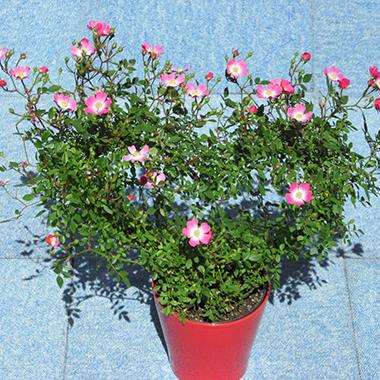 岡谷市 花サン ハート形つるバラ